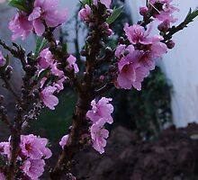 "Peach tree in bloom - Bringing hope for fruit ""a cure"" for breast cancer by leih2008"