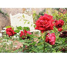 Beautiful Red English Roses with White Bench Photographic Print