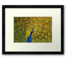 Peacock II Framed Print