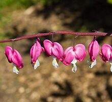Bleeding Heart Flowers on a Vine by journeysincolor