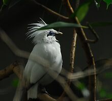 Bali Starling, (Leucopsar rothschildi) by John Adulcikas