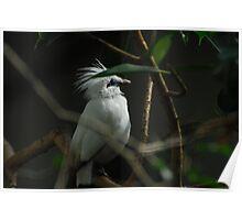 Bali Starling, (Leucopsar rothschildi) Poster