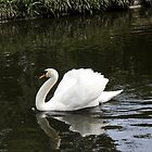 Swan Song by caroleann1947