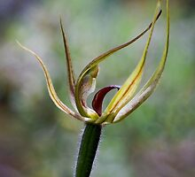 Spider Orchid by Tony Cave