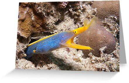 Blue Ribbon Eel, North Sulawesi, Indonesia by Erik Schlogl