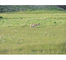 Pronghorn Stag Photographic Print