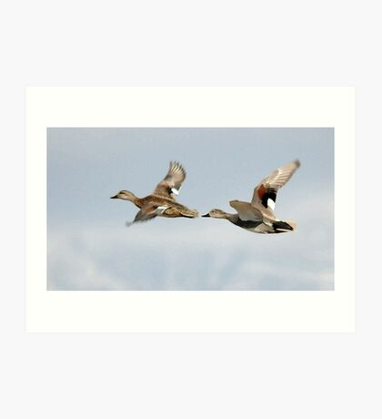 Gadwall Pair in Flight Art Print