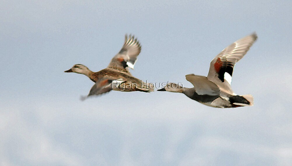 Gadwall Pair in Flight by Ryan Houston