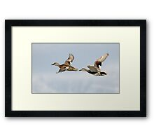 Gadwall Pair in Flight Framed Print