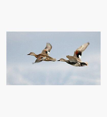 Gadwall Pair in Flight Photographic Print