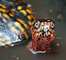 Eastern Box turtle by brianhbradley