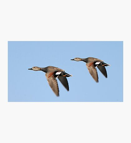 Gadwall Males Photographic Print