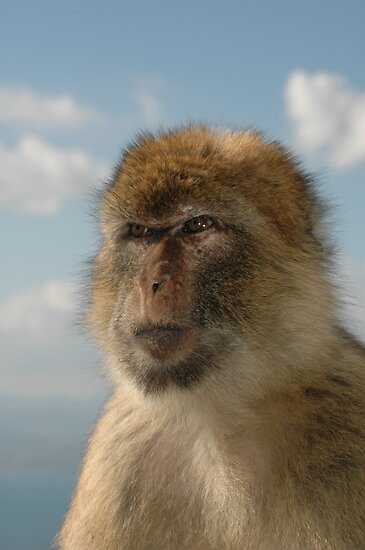 barbary ape in thought by Tony Hadfield