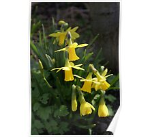 Cluster of Daffodils Poster