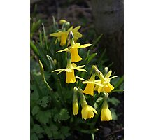 Cluster of Daffodils Photographic Print