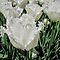 JANUARY AVATAR ~ White Tulips