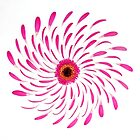 Gerbera Deconstructed by Jacky Parker
