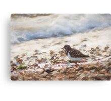 Turnstone (Colour Pencil Effect) Canvas Print