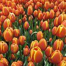 Tulip Field by Tracey Bransfield