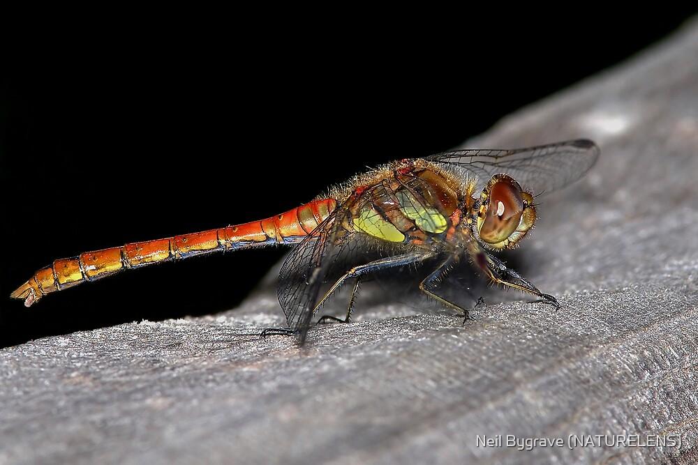 Common Darter Dragonfly by Neil Bygrave (NATURELENS)