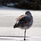Peg Leg Willet by Polly Peacock
