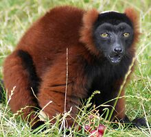 Brown Lemur by Mark Andrew Turner