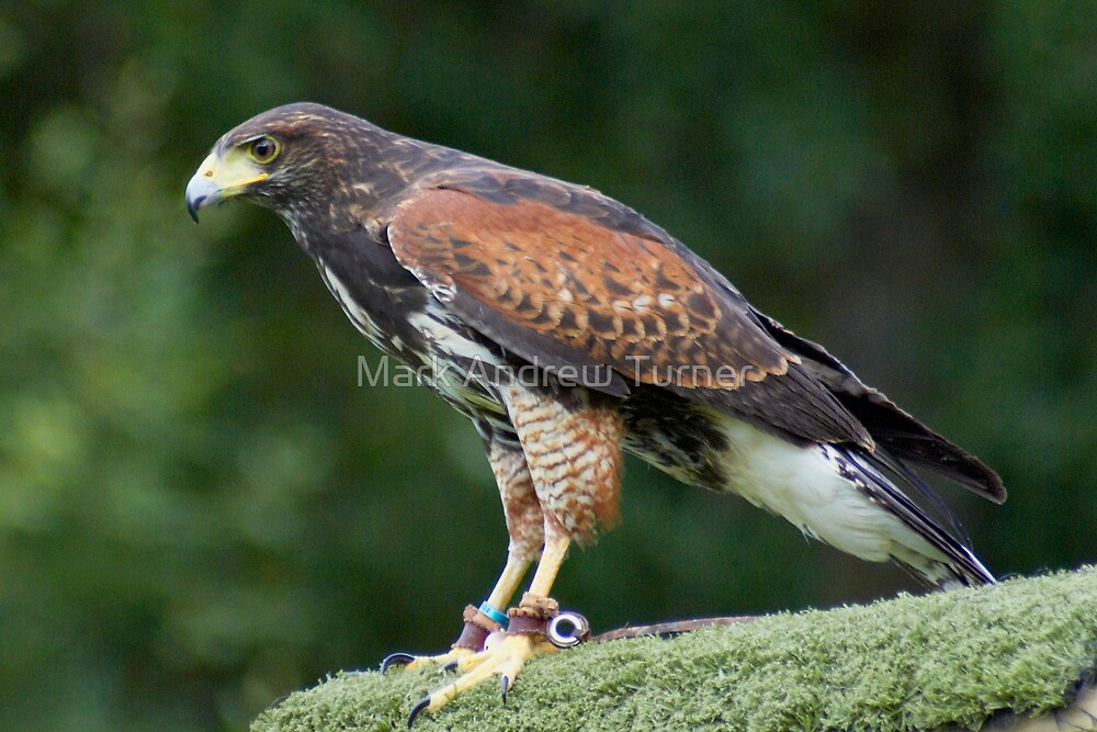 Harris Hawk by Mark Andrew Turner