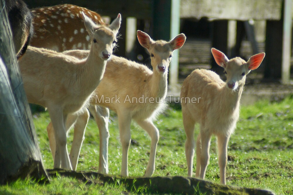 Young Deer by Mark Andrew Turner