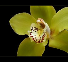 Cymbidium Orchid by orchiddesign