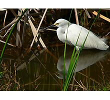 Snowy Egret and Reflection Photographic Print