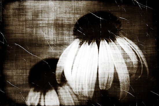 Echinacea Dark Dreams by Karri Klawiter