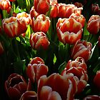 Tulip Clusters by JohnArnold