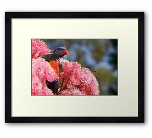 The Bird, the Bee and the Gum Blossoms ~ Rainbow Lorikeet Framed Print