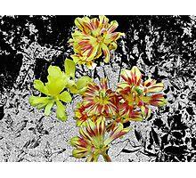 Spent Tulips Photographic Print