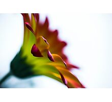 flower horn Photographic Print