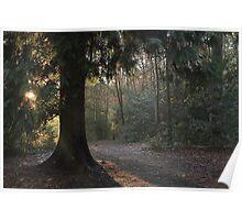 Sun break through coniferous wood Poster