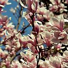 Magnolia beauty by TriciaDanby