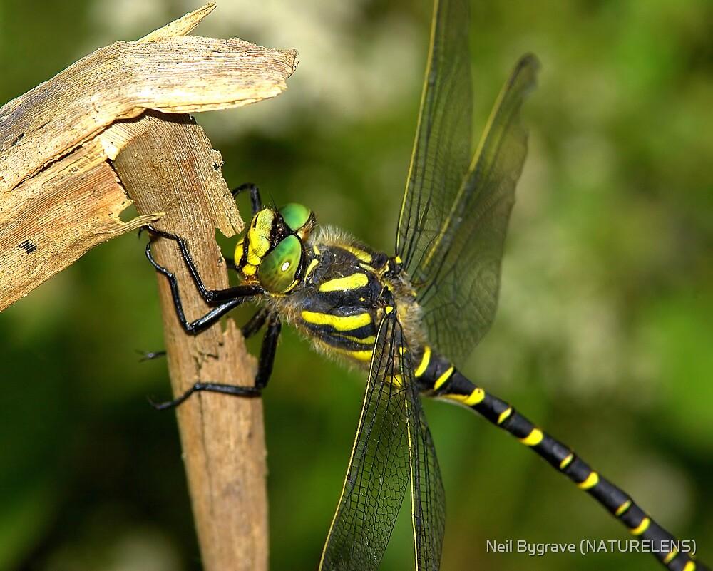 Golden-Ringed Dragonfly by Neil Bygrave (NATURELENS)