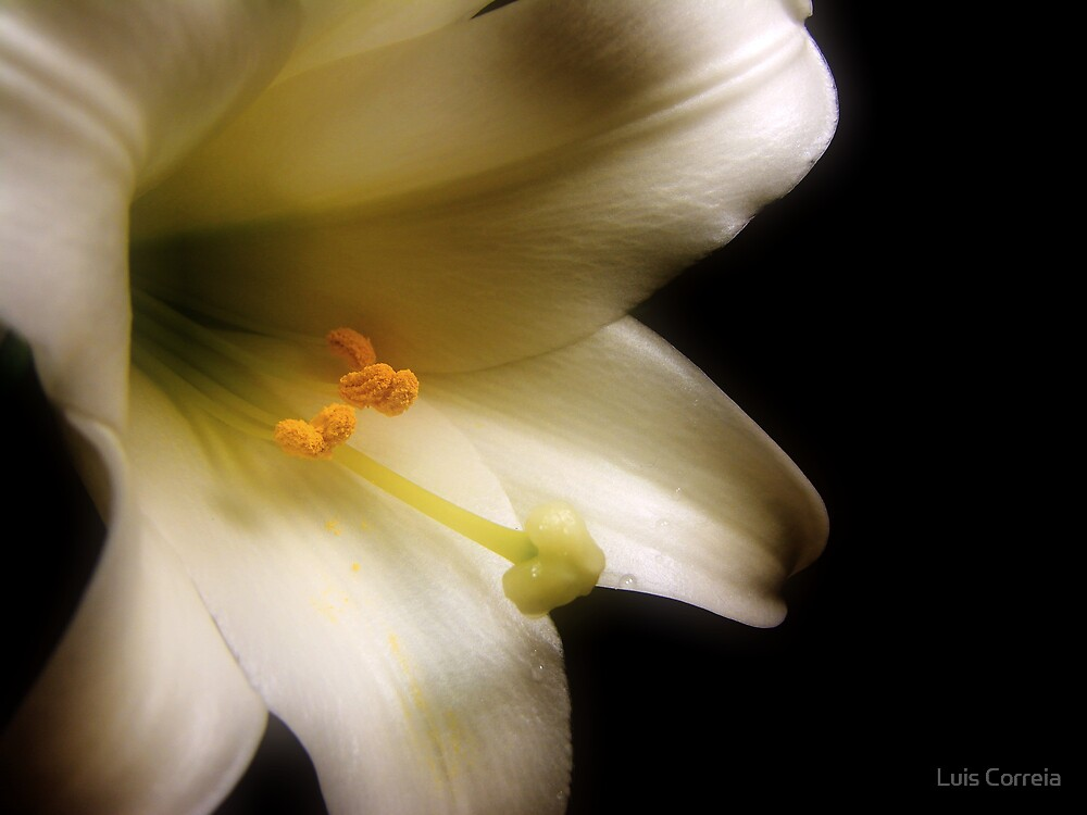Easter Lily by Luis Correia