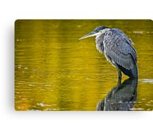 Blue Heron in Pond - Ottawa, Ontario Canvas Print