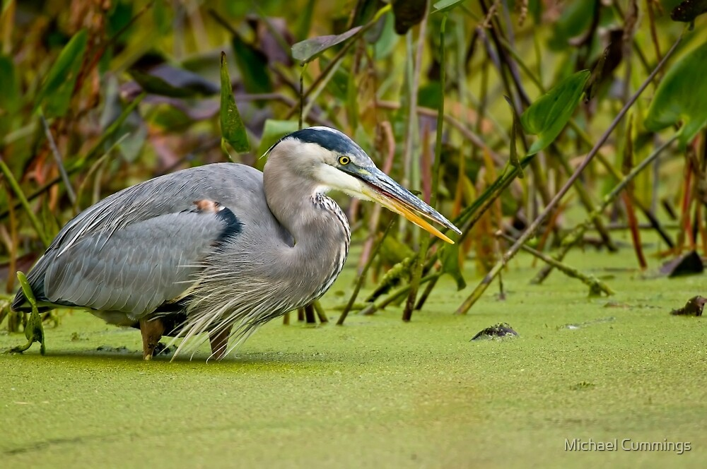 Blue Heron in Pond by Michael Cummings