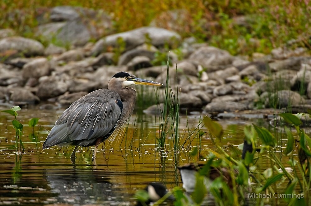 Blue Heron - Ottawa, Ontario by Michael Cummings