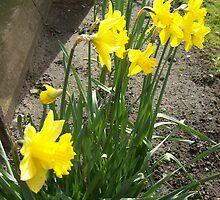 Daffodills by Ann Macdonald