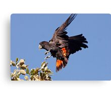 Red-tailed Black Cockatoo - A Splash of Red Canvas Print