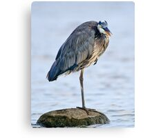 Juvenile Great Blue Heron - Ottawa, Ontario Canvas Print