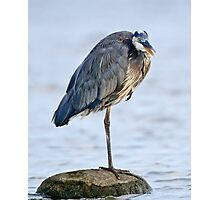 Juvenile Great Blue Heron - Ottawa, Ontario Photographic Print