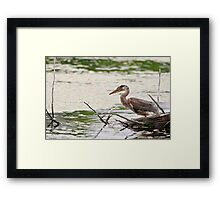 Baby Blue Heron on log - Ontario, Canada Framed Print