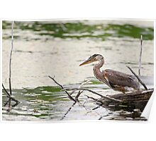 Baby Blue Heron on log - Ontario, Canada Poster