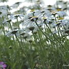 Beneath The Daisies by Lorelle Gromus