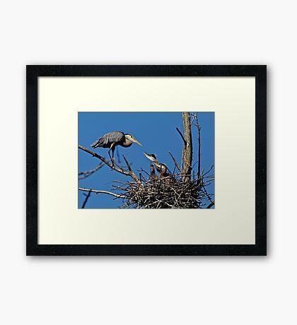 Great Blue Heron with Babies - Ottawa, Ontario Framed Print